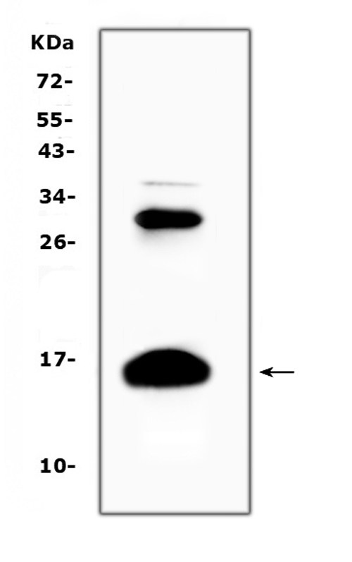 Figure 2. Western blot analysis of HBD using anti-HBD antibody (A01076). <br>Electrophoresis was performed on a 5-20% SDS-PAGE gel at 70V (Stacking gel) / 90V (Resolving gel) for 2-3 hours. The sample well of each lane was loaded with 50ug of sample under reducing conditions. <br>Lane 1: human placenta tissue lysates. <br>After Electrophoresis, proteins were transferred to a Nitrocellulose membrane at 150mA for 50-90 minutes. Blocked the membrane with 5% Non-fat Milk/ TBS for 1.5 hour at RT. The membrane was incubated with rabbit anti-HBD antigen affinity purified polyclonal antibody (Catalog # A01076) at 0.5 ug/mL overnight at 4?? then washed with TBS-0.1%Tween 3 times with 5 minutes each and probed with a goat anti-rabbit IgG-HRP secondary antibody at a dilution of 1:10000 for 1.5 hour at RT. The signal is developed using an Enhanced Chemiluminescent detection (ECL) kit (Catalog # EK1002) with Tanon 5200 system. A specific band was detected for HBD at approximately 16KD. The expected band size for HBD is at 16KD.