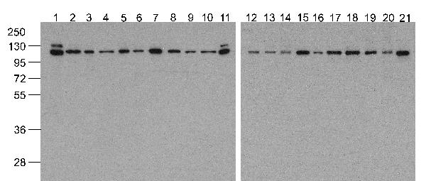 <h4>Figure 1. Western blotting validation for Anti-Vinculin VCL Antibody (biotin) A01207-Biotin</h4> Western blot analysis of Vinculin in 293