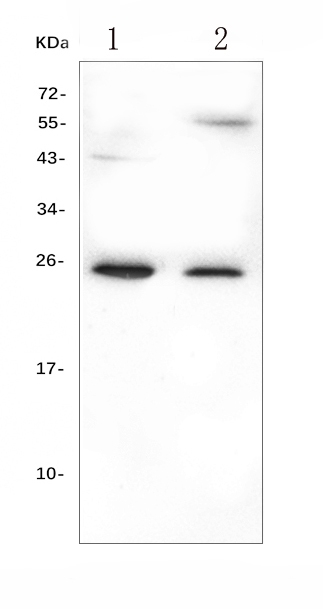 Figure 1. Western blot analysis of GCA using anti-GCA antibody (A01237). <br> Electrophoresis was performed on a 5-20% SDS-PAGE gel at 70V (Stacking gel) / 90V (Resolving gel) for 2-3 hours. The sample well of each lane was loaded with 50ug of sample under reducing conditions. <br> Lane 1: human HL-60 whole cell lysates, <br> Lane 2: human Caco-2 whole cell lysates. <br> After Electrophoresis, proteins were transferred to a Nitrocellulose membrane at 150mA for 50-90 minutes. Blocked the membrane with 5% Non-fat Milk/ TBS for 1.5 hour at RT. The membrane was incubated with rabbit anti-GCA antigen affinity purified polyclonal antibody (Catalog # A01237) at 0.5 μg/mL overnight at 4°C, then washed with TBS-0.1%Tween 3 times with 5 minutes each and probed with a goat anti-rabbit IgG-HRP secondary antibody at a dilution of 1:10000 for 1.5 hour at RT. The signal is developed using an Enhanced Chemiluminescent detection (ECL) kit (Catalog # EK1002) with Tanon 5200 system. A specific band was detected for GCA at approximately 25KD. The expected band size for GCA is at 25KD.