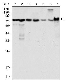 Western Blot (WB) analysis using LPP Monoclonal antibody against HeLa (1), NIH/3T3 (2), COS (3), Caki (4), MCF-7 (5), HepG2 (6) and SMMC-7721 (7) cell lysate.