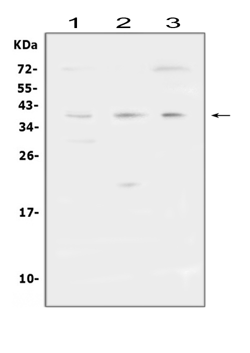 Figure 1. Western blot analysis of FCGR2A using anti-FCGR2A antibody (A01450-1).  <br> Electrophoresis was performed on a 5-20% SDS-PAGE gel at 70V (Stacking gel) / 90V (Resolving gel) for 2-3 hours. The sample well of each lane was loaded with 50ug of sample under reducing conditions.  <br> Lane 1: human THP-1 whole cell lysates<br> Lane 2: rat brain tissue lysates<br> Lane 3: mouse Neuro-2a whole cell lysates  <br> After Electrophoresis, proteins were transferred to a Nitrocellulose membrane at 150mA for 50-90 minutes. Blocked the membrane with 5% Non-fat Milk/ TBS for 1.5 hour at RT. The membrane was incubated with rabbit anti-FCGR2A antigen affinity purified polyclonal antibody (Catalog # A01450-1) at 0.5 μg/mL overnight at 4°C, then washed with TBS-0.1%Tween 3 times with 5 minutes each and probed with a goat anti-rabbit IgG-HRP secondary antibody at a dilution of 1:10000 for 1.5 hour at RT. The signal is developed using an Enhanced Chemiluminescent detection (ECL) kit (Catalog # EK1002) with Tanon 5200 system. A specific band was detected for FCGR2A at approximately 40KD. The expected band size for FCGR2A is at 35KD.