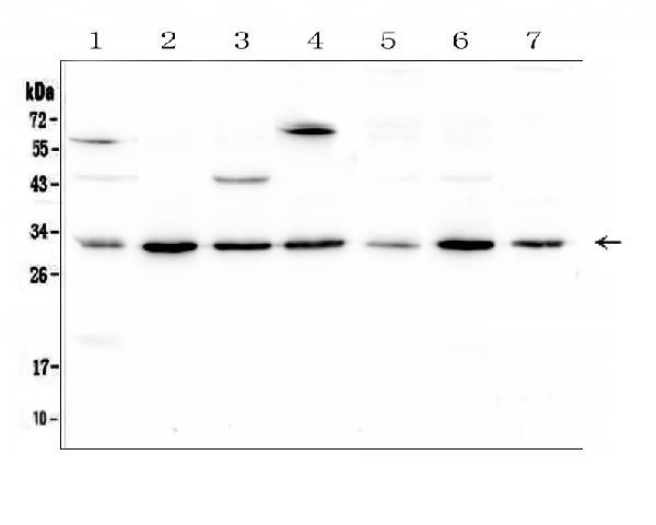 Figure 1. Western blot analysis of RPS3 using anti-RPS3 antibody (A01542-2). <br>   Electrophoresis was performed on a 5-20% SDS-PAGE gel at 70V (Stacking gel) / 90V (Resolving gel) for 2-3 hours. The sample well of each lane was loaded with 50ug of sample under reducing conditions.  <br> Lane 1: human placenta tissue lysates, <br> Lane 2: human HL-60 whole cell lysate, <br> Lane 3: human Caco-2 whole cell lysate, <br> Lane 4: human K562 whole cell lysate, <br> Lane 5: human U2OS whole cell lysate, <br> Lane 6: human MCF-7 whole cell lysate, <br> Lane 7: human PC-3 whole cell lysate. <br>   After Electrophoresis, proteins were transferred to a Nitrocellulose membrane at 150mA for 50-90 minutes. Blocked the membrane with 5% Non-fat Milk/ TBS for 1.5 hour at RT. The membrane was incubated with rabbit anti-RPS3 antigen affinity purified polyclonal antibody (Catalog # A01542-2) at 0.5 μg/mL overnight at 4°C, then washed with TBS-0.1%Tween 3 times with 5 minutes each and probed with a goat anti-rabbit IgG-HRP secondary antibody at a dilution of 1:10000 for 1.5 hour at RT. The signal is developed using an Enhanced Chemiluminescent detection (ECL) kit (Catalog # EK1002) with Tanon 5200 system. A specific band was detected for RPS3 at approximately 31KD. The expected band size for RPS3 is at 27KD.