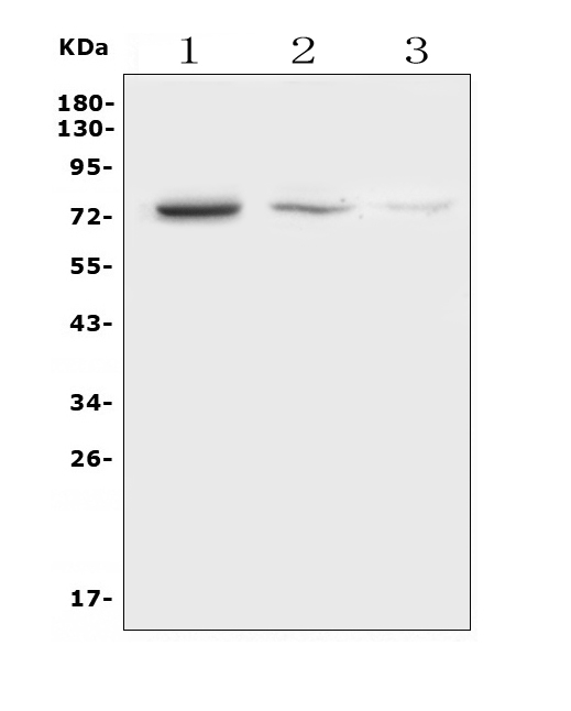 Figure 1. Western blot analysis of NDC80 using anti-NDC80 antibody (A01731-2). <br> Electrophoresis was performed on a 5-20% SDS-PAGE gel at 70V (Stacking gel) / 90V (Resolving gel) for 2-3 hours. The sample well of each lane was loaded with 50ug of sample under reducing conditions. <br> Lane 1: human K562 whole cell lysates, <br> Lane 2: rat spleen tissue lysates, <br> Lane 3: mouse spleen tissue lysates. <br> After Electrophoresis, proteins were transferred to a Nitrocellulose membrane at 150mA for 50-90 minutes. Blocked the membrane with 5% Non-fat Milk/ TBS for 1.5 hour at RT. The membrane was incubated with rabbit anti-NDC80 antigen affinity purified polyclonal antibody (Catalog # A01731-2) at 0.5 μg/mL overnight at 4°C, then washed with TBS-0.1%Tween 3 times with 5 minutes each and probed with a goat anti-rabbit IgG-HRP secondary antibody at a dilution of 1:10000 for 1.5 hour at RT. The signal is developed using an Enhanced Chemiluminescent detection (ECL) kit (Catalog # EK1002) with Tanon 5200 system. A specific band was detected for NDC80 at approximately 74KD. The expected band size for NDC80 is at 74KD.