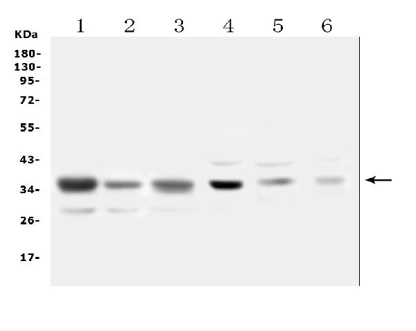 Figure 1. Western blot analysis of SFRP1 using anti-SFRP1 antibody (A01968-2). <br>Electrophoresis was performed on a 5-20% SDS-PAGE gel at 70V (Stacking gel) / 90V (Resolving gel) for 2-3 hours. The sample well of each lane was loaded with 50ug of sample under reducing conditions. <br>Lane 1: human A549 whole cell lysates,<br>Lane 2: human U2OS whole cell lysates,<br>Lane 3: human PC-3 whole cell lysates,<br>Lane 4: rat heart tissue lysates,<br>Lane 5: mouse heart tissue lysates,<br>Lane 6: mouse HEPA1-6 whole cell lysates. <br>After Electrophoresis, proteins were transferred to a Nitrocellulose membrane at 150mA for 50-90 minutes. Blocked the membrane with 5% Non-fat Milk/ TBS for 1.5 hour at RT. The membrane was incubated with rabbit anti-SFRP1 antigen affinity purified polyclonal antibody (Catalog # A01968-2) at 0.5 μg/mL overnight at 4°C, then washed with TBS-0.1%Tween 3 times with 5 minutes each and probed with a goat anti-rabbit IgG-HRP secondary antibody at a dilution of 1:10000 for 1.5 hour at RT. The signal is developed using an Enhanced Chemiluminescent detection (ECL) kit (Catalog # EK1002) with Tanon 5200 system. A specific band was detected for SFRP1 at approximately 35KD. The expected band size for SFRP1 is at 35KD.