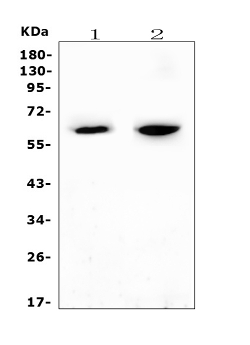 Figure 1. Western blot analysis of CYP27A1 using anti-CYP27A1 antibody (A02121-1). <br>Electrophoresis was performed on a 5-20% SDS-PAGE gel at 70V (Stacking gel) / 90V (Resolving gel) for 2-3 hours. The sample well of each lane was loaded with 50ug of sample under reducing conditions. <br>Lane 1: rat heart tissue lysates,<br>Lane 2: mouse heart tissue lysates. <br>After Electrophoresis, proteins were transferred to a Nitrocellulose membrane at 150mA for 50-90 minutes. Blocked the membrane with 5% Non-fat Milk/ TBS for 1.5 hour at RT. The membrane was incubated with rabbit anti-CYP27A1 antigen affinity purified polyclonal antibody (Catalog # A02121-1) at 0.5 μg/mL overnight at 4°C, then washed with TBS-0.1%Tween 3 times with 5 minutes each and probed with a goat anti-rabbit IgG-HRP secondary antibody at a dilution of 1:10000 for 1.5 hour at RT. The signal is developed using an Enhanced Chemiluminescent detection (ECL) kit (Catalog # EK1002) with Tanon 5200 system. A specific band was detected for CYP27A1 at approximately 65KD. The expected band size for CYP27A1 is at 60KD.