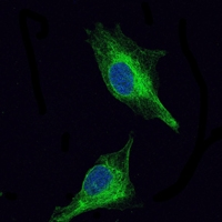 Anti-OLIG2 Antibody A02247