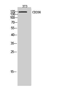 Anti-CD206 Antibody