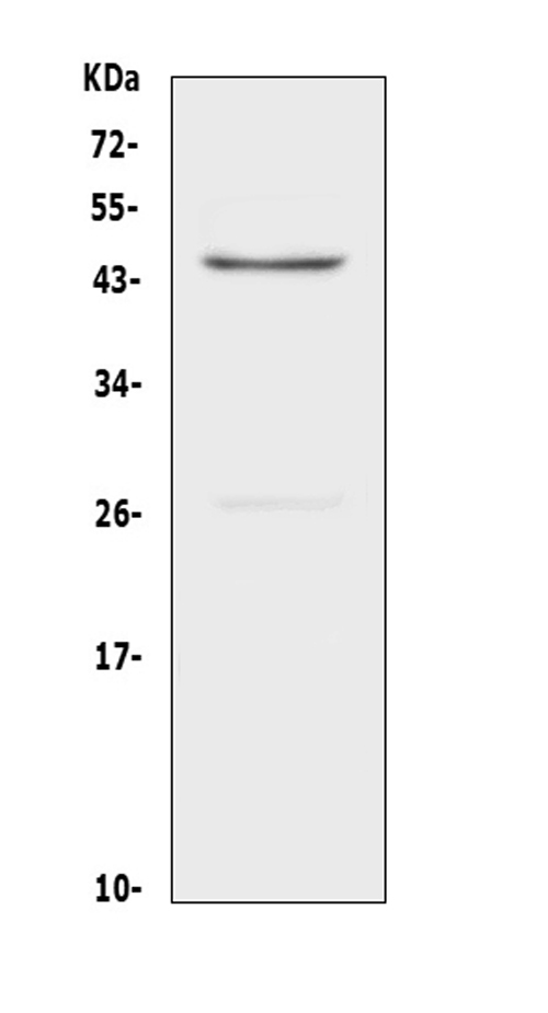 Figure 1. Western blot analysis of CD134/OX40 using anti-CD134/OX40 antibody (A02495). <br>Electrophoresis was performed on a 5-20% SDS-PAGE gel at 70V (Stacking gel) / 90V (Resolving gel) for 2-3 hours. The sample well of each lane was loaded with 50ug of sample under reducing conditions. <br>Lane 1: rat heart tissue lysates. <br>After Electrophoresis, proteins were transferred to a Nitrocellulose membrane at 150mA for 50-90 minutes. Blocked the membrane with 5% Non-fat Milk/ TBS for 1.5 hour at RT. The membrane was incubated with rabbit anti-CD134/OX40 antigen affinity purified polyclonal antibody (Catalog # A02495) at 0.5 μg/mL overnight at 4°C, then washed with TBS-0.1%Tween 3 times with 5 minutes each and probed with a goat anti-rabbit IgG-HRP secondary antibody at a dilution of 1:10000 for 1.5 hour at RT. The signal is developed using an Enhanced Chemiluminescent detection (ECL) kit (Catalog # EK1002) with Tanon 5200 system. A specific band was detected for CD134/OX40 at approximately 45KD. The expected band size for CD134/OX40 is at 29KD.