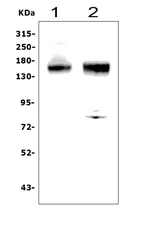 Figure 1. Western blot analysis of ANPEP using anti-ANPEP antibody (A02591-2).<br>  Electrophoresis was performed on a 5-20% SDS-PAGE gel at 70V (Stacking gel) / 90V (Resolving gel) for 2-3 hours. The sample well of each lane was loaded with 50ug of sample under reducing conditions.<br>  Lane 1: human A549 whole cell lysates, <br> Lane 2: human PC-3 whole cell lysates. <br>  After Electrophoresis, proteins were transferred to a Nitrocellulose membrane at 150mA for 50-90 minutes. Blocked the membrane with 5% Non-fat Milk/ TBS for 1.5 hour at RT. The membrane was incubated with rabbit anti-ANPEP antigen affinity purified polyclonal antibody (Catalog # A02591-2) at 0.5 μg/mL overnight at 4°C, then washed with TBS-0.1%Tween 3 times with 5 minutes each and probed with a goat anti-rabbit IgG-HRP secondary antibody at a dilution of 1:5000 for 1.5 hour at RT. The signal is developed using an Enhanced Chemiluminescent detection (ECL) kit (Catalog # EK1002) with Tanon 5200 system. A specific band was detected for ANPEP at approximately 150KD. The expected band size for ANPEP is at 150KD.
