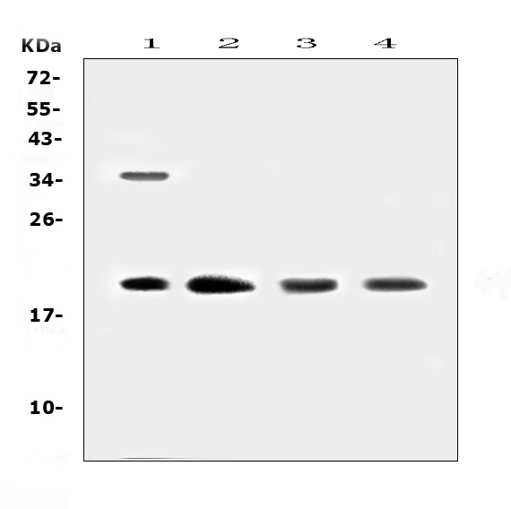 Figure 1. Western blot analysis of Dermatopontin using anti-Dermatopontin antibody (A02642-1). <br>Electrophoresis was performed on a 5-20% SDS-PAGE gel at 70V (Stacking gel) / 90V (Resolving gel) for 2-3 hours. The sample well of each lane was loaded with 50ug of sample under reducing conditions. <br>Lane 1: human Hela whole cell lysates,<br>Lane 2: human placenta tissue lysates, <br>Lane 3: rat lung tissue lysates, <br>Lane 4: mouse lung tissue lysates. <br>After Electrophoresis, proteins were transferred to a Nitrocellulose membrane at 150mA for 50-90 minutes. Blocked the membrane with 5% Non-fat Milk/ TBS for 1.5 hour at RT. The membrane was incubated with rabbit anti-Dermatopontin antigen affinity purified polyclonal antibody (Catalog # A02642-1) at 0.5 μg/mL overnight at 4°C, then washed with TBS-0.1%Tween 3 times with 5 minutes each and probed with a goat anti-rabbit IgG-HRP secondary antibody at a dilution of 1:10000 for 1.5 hour at RT. The signal is developed using an Enhanced Chemiluminescent detection (ECL) kit (Catalog # EK1002) with Tanon 5200 system. A specific band was detected for Dermatopontin at approximately 20KD. The expected band size for Dermatopontin is at 24KD.
