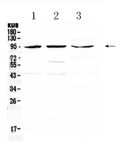 Anti-CD105 Picoband™ Antibody
