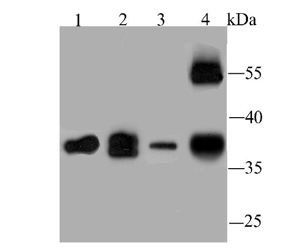 <h4>Figure 1. Western blotting validation for Anti-Protein Wnt-2 WNT2 Antibody A03226</h4> Western blot analysis of WNT2 on different lysates using anti-WNT2 antibody at 1/1