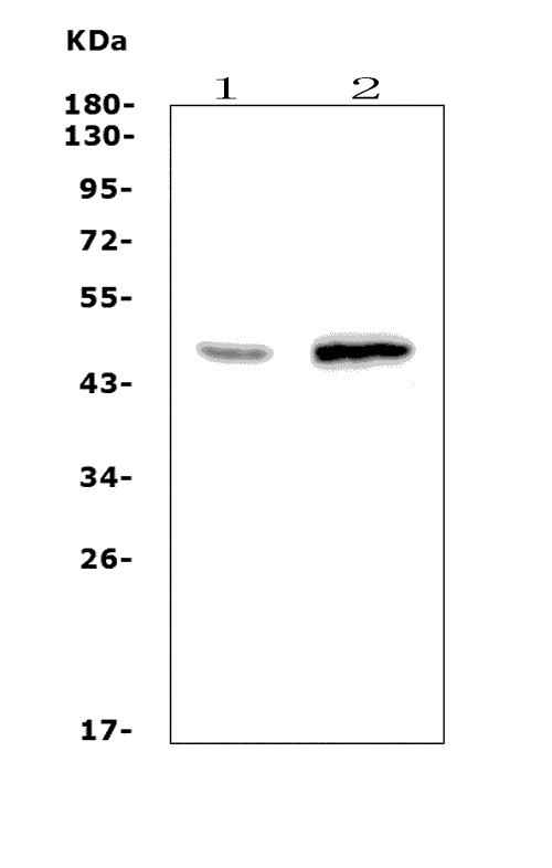 Figure 1. Western blot analysis of WNT10A using anti-WNT10A antibody (A03479-2).<br> 
