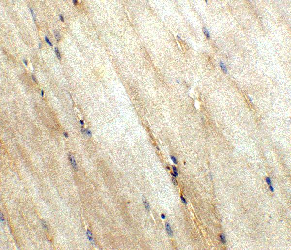 <h4>Figure 4. Immunohistochemistry validation of WNT10A using Anti-Protein Wnt-10a Wnt10a Antibody (A03479).</h4> Immunohistochemistry of Wnt10a in mouse skeletal muscle tissue with Wnt10a antibody at 5 μg/ml.<br> For more protocol information of IHC