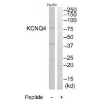 Western blot analysis of extracts from HuvEc cells, using KCNQ4 antibody A03659.