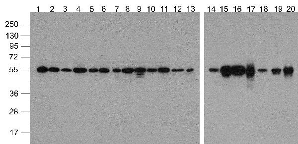 <h4>Figure 1. Western blotting validation for Anti-Alpha-tubulin TUBA1A Antibody (biotin) A03989-Biotin</h4> Western blot analysis of Alpha-tubulin in multiple cell and tissue lysates with Biotin-Alpha-tubulin antibody at 1 μg/ml. Lanes 1-20: 293