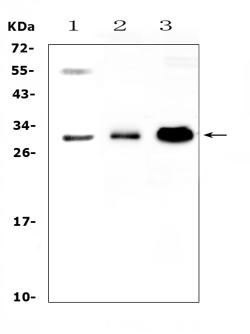 Figure 1. Western blot analysis of VEGFB using anti-VEGFB antibody (A04494-3). <br>Electrophoresis was performed on a 5-20% SDS-PAGE gel at 70V (Stacking gel) / 90V (Resolving gel) for 2-3 hours. The sample well of each lane was loaded with 50ug of sample under reducing conditions. <br>Lane 1: human 22RV1 whole cell lysates,<br>Lane 2: rat skeletal muscle tissue lysates,<br>Lane 3: mouse HEPA1-6 whole cell lysates. <br>After Electrophoresis, proteins were transferred to a Nitrocellulose membrane at 150mA for 50-90 minutes. Blocked the membrane with 5% Non-fat Milk/ TBS for 1.5 hour at RT. The membrane was incubated with rabbit anti-VEGFB antigen affinity purified polyclonal antibody (Catalog # A04494-3) at 0.5 μg/mL overnight at 4°C, then washed with TBS-0.1%Tween 3 times with 5 minutes each and probed with a goat anti-rabbit IgG-HRP secondary antibody at a dilution of 1:10000 for 1.5 hour at RT. The signal is developed using an Enhanced Chemiluminescent detection (ECL) kit (Catalog # EK1002) with Tanon 5200 system. A specific band was detected for VEGFB at approximately 29KD. The expected band size for VEGFB is at 22KD.