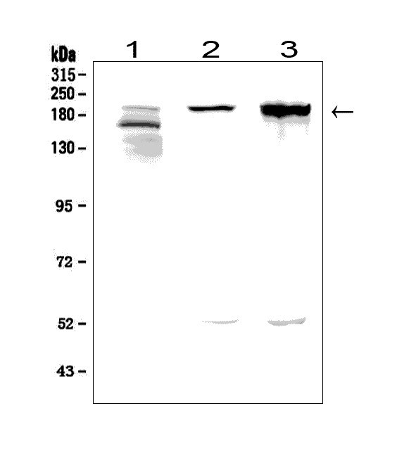 Figure 1. Western blot analysis of AGRN using anti-AGRN antibody (A04649).<br> 