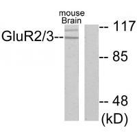 Western blot analysis of extracts from mouse brain, using GluR2/3 antibody A04827.
