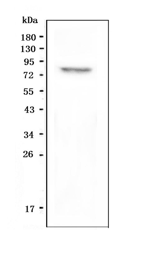 Figure 1. Western blot analysis of GPCR LGR8 using anti-GPCR LGR8 antibody (A04848-1). <br>Electrophoresis was performed on a 5-20% SDS-PAGE gel at 70V (Stacking gel) / 90V (Resolving gel) for 2-3 hours. The sample well of each lane was loaded with 50ug of sample under reducing conditions. <br>Lane 1: human SHG-44 whole cell lysate. <br>After Electrophoresis, proteins were transferred to a Nitrocellulose membrane at 150mA for 50-90 minutes. Blocked the membrane with 5% Non-fat Milk/ TBS for 1.5 hour at RT. The membrane was incubated with rabbit anti-GPCR LGR8 antigen affinity purified polyclonal antibody (Catalog # A04848-1) at 0.5 μg/mL overnight at 4°C, then washed with TBS-0.1%Tween 3 times with 5 minutes each and probed with a goat anti-rabbit IgG-HRP secondary antibody at a dilution of 1:10000 for 1.5 hour at RT. The signal is developed using an Enhanced Chemiluminescent detection (ECL) kit (Catalog # EK1002) with Tanon 5200 system. A specific band was detected for GPCR LGR8 at approximately 86KD. The expected band size for GPCR LGR8 is at 86KD.