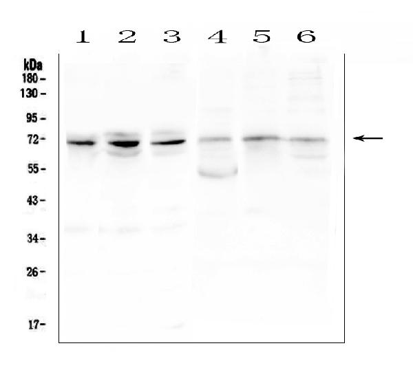 Figure 1. Western blot analysis of ARNTL2 using anti-ARNTL2 antibody (A05332-1). <br>Electrophoresis was performed on a 5-20% SDS-PAGE gel at 70V (Stacking gel) / 90V (Resolving gel) for 2-3 hours. The sample well of each lane was loaded with 50ug of sample under reducing conditions. <br>Lane 1: human PC-3 whole cell lysates,<br>Lane 2: human A549 whole cell lysates,<br>Lane 3: human HepG2 whole cell lysates,<br>Lane 4: rat ovary tissue lysates,<br>Lane 5: mouse lung tissue lysates,<br>Lane 6: mouse testis tissue lysates. <br>After Electrophoresis, proteins were transferred to a Nitrocellulose membrane at 150mA for 50-90 minutes. Blocked the membrane with 5% Non-fat Milk/ TBS for 1.5 hour at RT. The membrane was incubated with rabbit anti-ARNTL2 antigen affinity purified polyclonal antibody (Catalog # A05332-1) at 0.5 μg/mL overnight at 4°C, then washed with TBS-0.1%Tween 3 times with 5 minutes each and probed with a goat anti-rabbit IgG-HRP secondary antibody at a dilution of 1:10000 for 1.5 hour at RT. The signal is developed using an Enhanced Chemiluminescent detection (ECL) kit (Catalog # EK1002) with Tanon 5200 system. A specific band was detected for ARNTL2 at approximately 71KD. The expected band size for ARNTL2 is at 71KD.