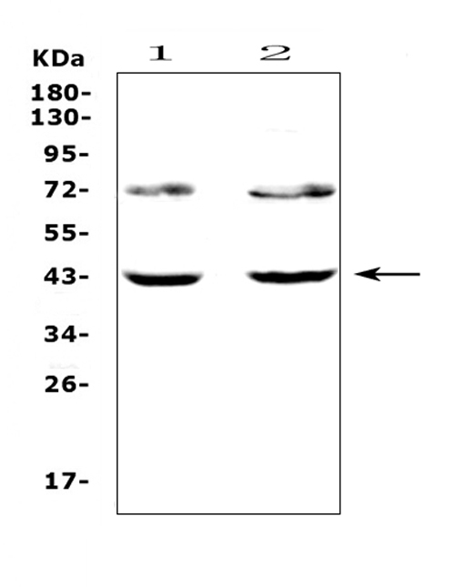 Figure 1. Western blot analysis of TSPAN12 using anti-TSPAN12 antibody (A05472-1). <br>Electrophoresis was performed on a 5-20% SDS-PAGE gel at 70V (Stacking gel) / 90V (Resolving gel) for 2-3 hours. The sample well of each lane was loaded with 50ug of sample under reducing conditions. <br>Lane 1: human Hela cell lysates, <br>Lane 2: human SW620 cell lysates.<br>After Electrophoresis, proteins were transferred to a Nitrocellulose membrane at 150mA for 50-90 minutes. Blocked the membrane with 5% Non-fat Milk/ TBS for 1.5 hour at RT. The membrane was incubated with rabbit anti-TSPAN12 antigen affinity purified polyclonal antibody (Catalog # A05472-1) at 0.5 μg/mL overnight at 4°C, then washed with TBS-0.1%Tween 3 times with 5 minutes each and probed with a goat anti-rabbit IgG-HRP secondary antibody at a dilution of 1:10000 for 1.5 hour at RT. The signal is developed using an Enhanced Chemiluminescent detection (ECL) kit (Catalog # EK1002) with Tanon 5200 system. A specific band was detected for TSPAN12 at approximately 43KD. The expected band size for TSPAN12 is at 35KD.