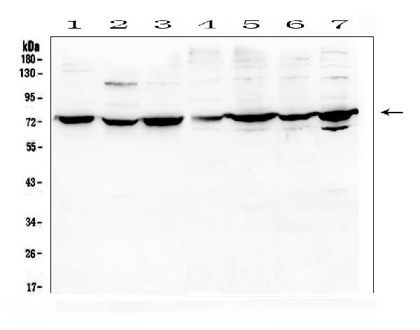 Figure 1. Western blot analysis of DARS2 using anti-DARS2 antibody (A06034-1). <br>Electrophoresis was performed on a 5-20% SDS-PAGE gel at 70V (Stacking gel) / 90V (Resolving gel) for 2-3 hours. The sample well of each lane was loaded with 50ug of sample under reducing conditions. <br>Lane 1: human A431 whole cell lysates,<br>Lane 2: human K562 whole cell lysates,<br>Lane 3: human A549 whole cell lysates,<br>Lane 4: human PC-3 whole cell lysates,<br>Lane 5: human U2OS whole cell lysates,<br>Lane 6: human Caco-2 whole cell lysates,<br>Lane 7: human HEK293 whole cell lysates. <br>After Electrophoresis, proteins were transferred to a Nitrocellulose membrane at 150mA for 50-90 minutes. Blocked the membrane with 5% Non-fat Milk/ TBS for 1.5 hour at RT. The membrane was incubated with rabbit anti-DARS2 antigen affinity purified polyclonal antibody (Catalog # A06034-1) at 0.5 μg/mL overnight at 4°C, then washed with TBS-0.1%Tween 3 times with 5 minutes each and probed with a goat anti-rabbit IgG-HRP secondary antibody at a dilution of 1:10000 for 1.5 hour at RT. The signal is developed using an Enhanced Chemiluminescent detection (ECL) kit (Catalog # EK1002) with Tanon 5200 system. A specific band was detected for DARS2 at approximately 74KD. The expected band size for DARS2 is at 74KD.