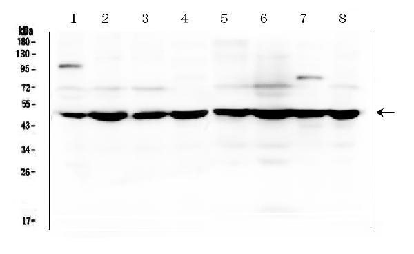 Figure 1. Western blot analysis of SF3B4 using anti-SF3B4 antibody (A06414-1). <br>Electrophoresis was performed on a 5-20% SDS-PAGE gel at 70V (Stacking gel) / 90V (Resolving gel) for 2-3 hours. The sample well of each lane was loaded with 50ug of sample under reducing conditions. <br>Lane 1: human placenta tissue lysates,<br>Lane 2: human MDA-MB-231 whole cell lysates,<br>Lane 3: human U2OS whole cell lysates,<br>Lane 4: human HL-60 whole cell lysates,<br>Lane 5: human A549 whole cell lysates,<br>Lane 6: human PC-3 whole cell lysates,<br>Lane 7: human THP-1 whole cell lysates,<br>Lane 8: human U-87MG whole cell lysates. <br>After Electrophoresis, proteins were transferred to a Nitrocellulose membrane at 150mA for 50-90 minutes. Blocked the membrane with 5% Non-fat Milk/ TBS for 1.5 hour at RT. The membrane was incubated with rabbit anti-SF3B4 antigen affinity purified polyclonal antibody (Catalog # A06414-1) at 0.5 μg/mL overnight at 4°C, then washed with TBS-0.1%Tween 3 times with 5 minutes each and probed with a goat anti-rabbit IgG-HRP secondary antibody at a dilution of 1:10000 for 1.5 hour at RT. The signal is developed using an Enhanced Chemiluminescent detection (ECL) kit (Catalog # EK1002) with Tanon 5200 system. A specific band was detected for SF3B4 at approximately 49KD. The expected band size for SF3B4 is at 49KD.