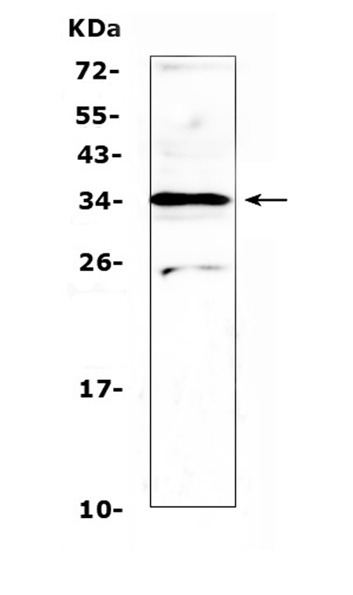 Figure 1. Western blot analysis of MED4 using anti-MED4 antibody (A06467-1). <br>Electrophoresis was performed on a 5-20% SDS-PAGE gel at 70V (Stacking gel) / 90V (Resolving gel) for 2-3 hours. The sample well of each lane was loaded with 50ug of sample under reducing conditions. <br>Lane 1: rat spleen tissue lysates. <br>After Electrophoresis, proteins were transferred to a Nitrocellulose membrane at 150mA for 50-90 minutes. Blocked the membrane with 5% Non-fat Milk/ TBS for 1.5 hour at RT. The membrane was incubated with rabbit anti-MED4 antigen affinity purified polyclonal antibody (Catalog # A06467-1) at 0.5 ug/mL overnight at 4?? then washed with TBS-0.1%Tween 3 times with 5 minutes each and probed with a goat anti-rabbit IgG-HRP secondary antibody at a dilution of 1:10000 for 1.5 hour at RT. The signal is developed using an Enhanced Chemiluminescent detection (ECL) kit (Catalog # EK1002) with Tanon 5200 system. A specific band was detected for MED4 at approximately 34KD. The expected band size for MED4 is at 30KD.