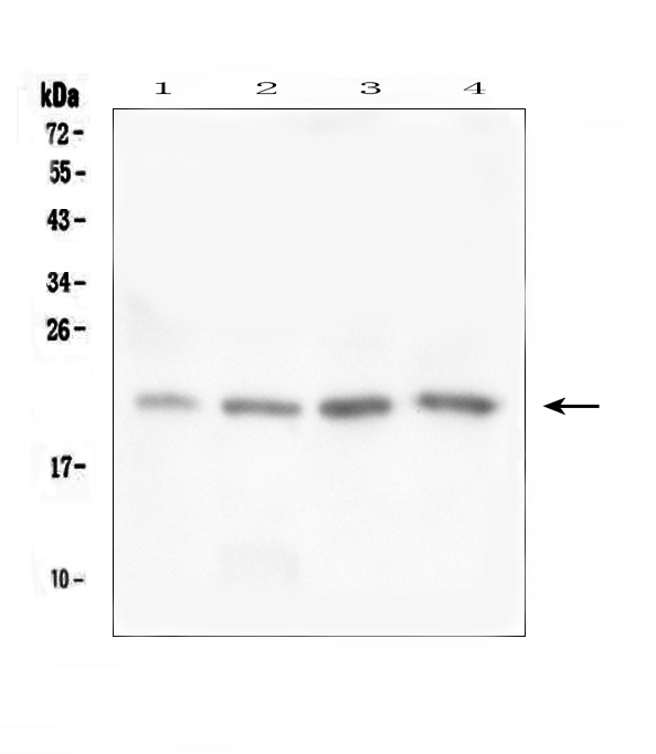 Figure 1. Western blot analysis of TAF12 using anti-TAF12 antibody (A06944-1). <br>Electrophoresis was performed on a 5-20% SDS-PAGE gel at 70V (Stacking gel) / 90V (Resolving gel) for 2-3 hours. The sample well of each lane was loaded with 50ug of sample under reducing conditions. <br>Lane 1: human placenta tissue lysates,<br>Lane 2: human U-937 whole cell lysates,<br>Lane 3: human K562 whole cell lysates,<br>Lane 4: human THP-1 whole cell lysates. <br>After Electrophoresis, proteins were transferred to a Nitrocellulose membrane at 150mA for 50-90 minutes. Blocked the membrane with 5% Non-fat Milk/ TBS for 1.5 hour at RT. The membrane was incubated with rabbit anti-TAF12 antigen affinity purified polyclonal antibody (Catalog # A06944-1) at 0.5 μg/mL overnight at 4°C, then washed with TBS-0.1%Tween 3 times with 5 minutes each and probed with a goat anti-rabbit IgG-HRP secondary antibody at a dilution of 1:10000 for 1.5 hour at RT. The signal is developed using an Enhanced Chemiluminescent detection (ECL) kit (Catalog # EK1002) with Tanon 5200 system. A specific band was detected for TAF12 at approximately 22KD. The expected band size for TAF12 is at 18KD.