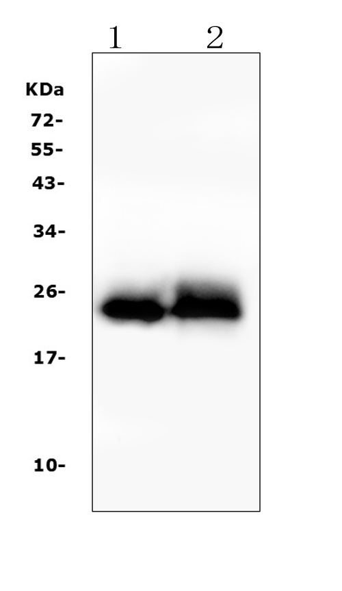 Figure 1. Western blot analysis of TNNI2 using anti- TNNI2 antibody (A07355-2). <br> Electrophoresis was performed on a 5-20% SDS-PAGE gel at 70V (Stacking gel) / 90V (Resolving gel) for 2-3 hours. The sample well of each lane was loaded with 50ug of sample under reducing conditions. <br> Lane 1: rat skeletal muscle tissue lysates, <br> Lane 2: mouse skeletal muscle tissue lysates, <br> After Electrophoresis, proteins were transferred to a Nitrocellulose membrane at 150mA for 50-90 minutes. Blocked the membrane with 5% Non-fat Milk/ TBS for 1.5 hour at RT. The membrane was incubated with rabbit anti- TNNI2 antigen affinity purified polyclonal antibody (Catalog # A07355-2) at 0.5 μg/mL overnight at 4°C, then washed with TBS-0.1%Tween 3 times with 5 minutes each and probed with a goat anti-rabbit IgG-HRP secondary antibody at a dilution of 1:10000 for 1.5 hour at RT. The signal is developed using an Enhanced Chemiluminescent detection (ECL) kit (Catalog # EK1002) with Tanon 5200 system. A specific band was detected for TNNI2 at approximately 24KD. The expected band size for TNNI2 is at 21KD.