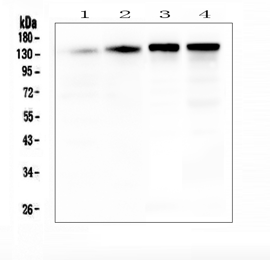 Figure 1. Western blot analysis of SRCIN1 using anti-SRCIN1 antibody (A08110-1). <br>  Electrophoresis was performed on a 5-20% SDS-PAGE gel at 70V (Stacking gel) / 90V (Resolving gel) for 2-3 hours. The sample well of each lane was loaded with 50ug of sample under reducing conditions. <br>  Lane 1: human T-47D whole cell lysates, Lane 2: human MDA-MB-453 whole cell lysates, Lane 3: rat brain tissue lysates, Lane 4: mouse brain tissue lysates. <br>   After Electrophoresis, proteins were transferred to a Nitrocellulose membrane at 150mA for 50-90 minutes. Blocked the membrane with 5% Non-fat Milk/ TBS for 1.5 hour at RT. The membrane was incubated with rabbit anti-SRCIN1 antigen affinity purified polyclonal antibody (Catalog # A08110-1) at 0.5 μg/mL overnight at 4°C, then washed with TBS-0.1%Tween 3 times with 5 minutes each and probed with a goat anti-rabbit IgG-HRP secondary antibody at a dilution of 1:10000 for 1.5 hour at RT. The signal is developed using an Enhanced Chemiluminescent detection (ECL) kit (Catalog # EK1002) with Tanon 5200 system. A specific band was detected for SRCIN1 at approximately 140KD. The expected band size for SRCIN1 is at 140KD.