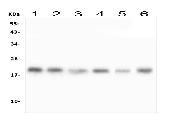 Figure 1. Western blot analysis of RMI2 using anti-RMI2 antibody (A08685).  <br> Electrophoresis was performed on a 5-20% SDS-PAGE gel at 70V (Stacking gel) / 90V (Resolving gel) for 2-3 hours. The sample well of each lane was loaded with 50ug of sample under reducing conditions.  <br> Lane 1: human Hela whole cell lysates,<br> Lane 2: human T-47D whole cell lysates,<br> Lane 3: human HepG2 whole cell lysates,<br> Lane 4: human K562 whole cell lysates,<br> Lane 5: rat thymus tissue lysates,<br> Lane 6: mouse HEPA1-6 whole cell lysates.  <br> After Electrophoresis, proteins were transferred to a Nitrocellulose membrane at 150mA for 50-90 minutes. Blocked the membrane with 5% Non-fat Milk/ TBS for 1.5 hour at RT. The membrane was incubated with rabbit anti-RMI2 antigen affinity purified polyclonal antibody (Catalog # A08685) at 0.5 μg/mL overnight at 4°C, then washed with TBS-0.1%Tween 3 times with 5 minutes each and probed with a goat anti-rabbit IgG-HRP secondary antibody at a dilution of 1:10000 for 1.5 hour at RT. The signal is developed using an Enhanced Chemiluminescent detection (ECL) kit (Catalog # EK1002) with Tanon 5200 system. A specific band was detected for RMI2 at approximately 19KD. The expected band size for RMI2 is at 17KD.
