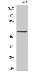 Western Blot (WB) analysis of specific cells using ERK 8 Polyclonal antibody.