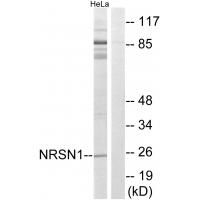 Western blot analysis of extracts from HeLa cells, using NRSN1 antibody A11714.