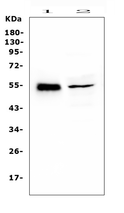 Figure 6. Western blot analysis of RBMS3 using anti-RBMS3 antibody (A12416-3).  <br> Electrophoresis was performed on a 5-20% SDS-PAGE gel at 70V (Stacking gel) / 90V (Resolving gel) for 2-3 hours. The sample well of each lane was loaded with 50ug of sample under reducing conditions.  <br> Lane 1: rat heart tissue lysates, <br> Lane 2: mouse testicular tissue lysates. <br>  After Electrophoresis, proteins were transferred to a Nitrocellulose membrane at 150mA for 50-90 minutes. Blocked the membrane with 5% Non-fat Milk/ TBS for 1.5 hour at RT. The membrane was incubated with rabbit anti-RBMS3 antigen affinity purified polyclonal antibody (Catalog # A12416-3) at 0.5 μg/mL overnight at 4°C, then washed with TBS-0.1%Tween 3 times with 5 minutes each and probed with a goat anti-rabbit IgG-HRP secondary antibody at a dilution of 1:10000 for 1.5 hour at RT. The signal is developed using an Enhanced Chemiluminescent detection (ECL) kit (Catalog # EK1002) with Tanon 5200 system. A specific band was detected for RBMS3 at approximately 55KD. The expected band size for RBMS3 is at 48-55KD.