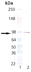 Western blot analysis of Estrogen Receptor Alpha expression in MW marker (lane 1) and Estrogen Receptor 1 (lane 2). Estrogen Receptor Alpha at 92KD was detected using mouse anti- Estrogen Receptor Alpha Antigen Affinity purified monoclonal antibody (Catalog # M00057) at 1:500. The blot was developed using colorimetric method.