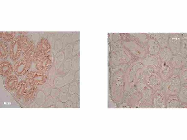 IDO1 was detected in paraffin-embedded sections of epididymis from wild-type (left) and IDO1 null mice (right) using mouse anti- IDO1 Antigen Affinity purified monoclonal antibody (Catalog # M01705). The immunohistochemical section was developed using SABC method (Catalog # SA1021).