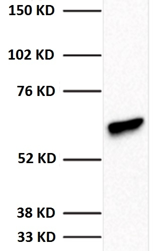 WB result using whole cell extracts from HeLa Cells (25 μg) and 1:1,000 antibody dilution. Predicted band size: 55 KD. Observed band size: 55 KD.
