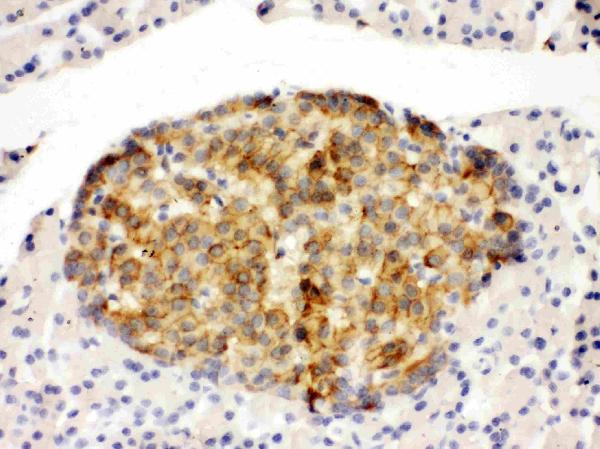 Anti-Annexin IV antibody, PA1007-1, IHC(P)<br>IHC(P): Rat Pancreas Tissue
