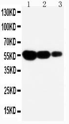 /antibody/pa1119-1-WB-anti-fas-cd95-antibody.jpg