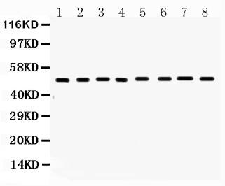 /antibody/pa1119-4-WB-anti-fas-cd95-antibody.jpg