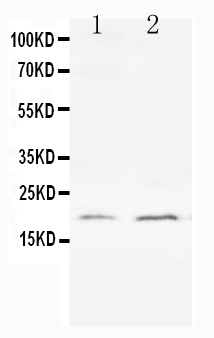 Anti-Bcl-XS antibody, PA1232, Western blotting<br>All lanes: Anti Bcl-XS (PA1232) at 0.5ug/ml<br>Lane 1: HELA Whole Cell Lysate at 40ug<br>Lane 2: PC-12 Whole Cell Lysate at 40ug<br>Predicted bind size: 19KD<br>Observed bind size: 19KD