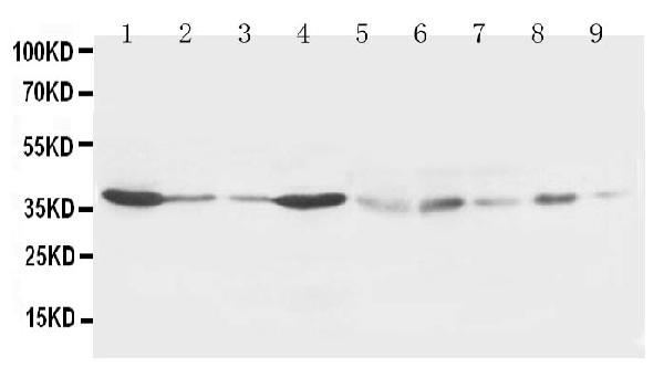 /antibody/pa1326-1-WB-anti-hex-antibody.jpg
