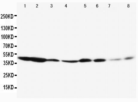 /antibody/pa1343-1-WB-anti-erk1-antibody.jpg