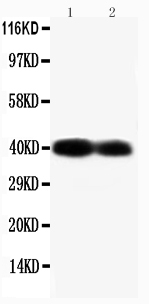 Anti-Connexin 40/GJA5 antibody, PA1368, Western blotting<br>Lane 1: Mouse Heart Tissue Lysate<br>Lane 2:  Mouse Heart Tissue Lysate<br>
