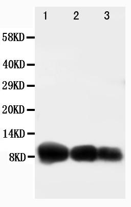 Anti-IP10 antibody, PA1396, Western blotting<br>Lane 1: Recombinant Human CXCL10 Protein 10ng<br>Lane 2: Recombinant Human CXCL10 Protein 5ng<br>Lane 3: Recombinant Human CXCL10 Protein 2.5ng
