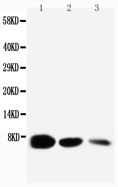 Anti-EGF antibody, PA1398, Western blotting<br>Lane 1: Recombinant Mouse EGF Protein 10ng<br>Lane 2: Recombinant Mouse EGF Protein 5ng<br>Lane 3: Recombinant Mouse EGF Protein 2.5ng