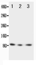 /antibody/pa1400-1-WB-anti-fractalkine-cx3cl1-antibody.jpg