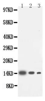 /antibody/pa1424-1-WB-anti-il-4-antibody.jpg